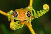 Green Bright-eyed Tree Frog  (Boophis viridis) on a fern, Andasibe-Mantadia National Park, Madagascar.