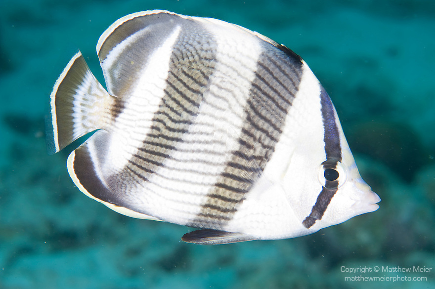 Bonaire, Netherlands Antilles; profile view of a Banded Butterflyfish swimming over the rocky reef , Copyright © Matthew Meier, matthewmeierphoto.com All Rights Reserved