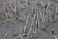 Crops destroyed by volcanic ash from the eruption of Mount Bromo Volcano, Tengger Caldera, Java, Indonesia.