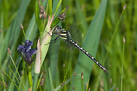 Twin-spotted Spiketail (Cordulegaster maculata) Dragonfly - Female, Ward Pound Ridge Reservation, Cross River, Westchester County, New York