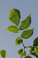Schwarzer Holunder, Blätter, Blatt gegen blauen Himmel, Fliederbeeren, Fliederbeere, Sambucus nigra, Common Elder, Elderberry, Sureau commun, Sureau noir