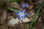 Glory-of-the-snow, Chionodoxa. Found in Ipswich River Wildlife Santuary, Topsfield, MA USA