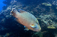 Andaman and Nicobar Islands, India, April 2008. Napoleon Wrasse. With Barefoot Scuba we dive the colourful coral reefs surrounding the islands and see a mulitude of fish. The remote Andaman Islands are an upcoming eco tourism and active adventure destination. Photo by Frits Meyst/Adventure4ever.com