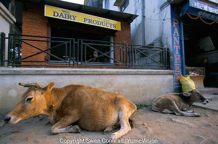 Holy Cows at the dairy Products shop in Kathmandu City, Nepal