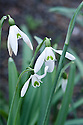 Snowdrop (Galanthus 'Mrs E. W. George'), early March.