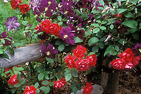 Red climbing roses and purple Clematis x jackmanii on wooden post and rail fence, planted together