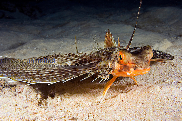 The Oriental Flying Gurnard (Dactylopterus orientalis) is remarkable for its enormous, winglike pectoral fins, Hawaii, USA.