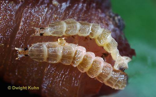 1C24-872z  Pyralis Firefly larvae eating worm -  Lightning Bug - one day old larvae - Photinus spp.
