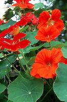 Tropaeolum majus 'Red Wonder' (Nasturtiums)