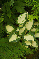 Hosta 'Eleanor Lachman' with ferns