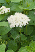 Viburnum dentatum in bloom