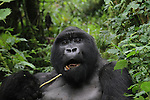 Munyinya, silverback mountain gorilla of the Hirwa Group in Rwanda's Virunga Mountains, snacks on veggies.