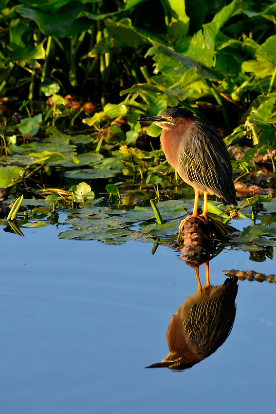"Green Heron.  Unusually, for a bird, it is known to drop ""bait"" into the water and catch the fish that go for the bait!  Wakodahatchee Wetlands, Delray Beach, FL, United States"