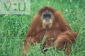 Sumatran Orangutan ,Pongo pygmaeus abelii,
