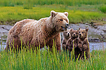 Brown bear sow and cubs, Lake Clark National Park, Alaska, USA<br />