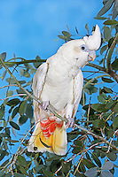 Philippine Cockatoo (Cacatua haematuropygia) on a branch Captivity.