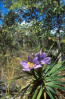 Flowering plant Vellozia variabilis of the Velloziaceae family in wooded savanna called cerrado in Chapada dos Veadeiros, Goias, Brazil