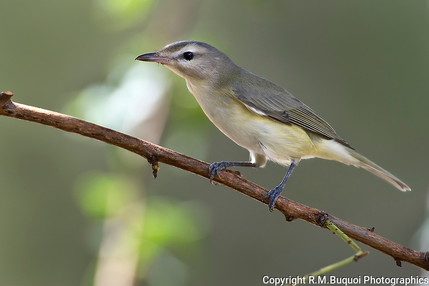 Warbling Vireo