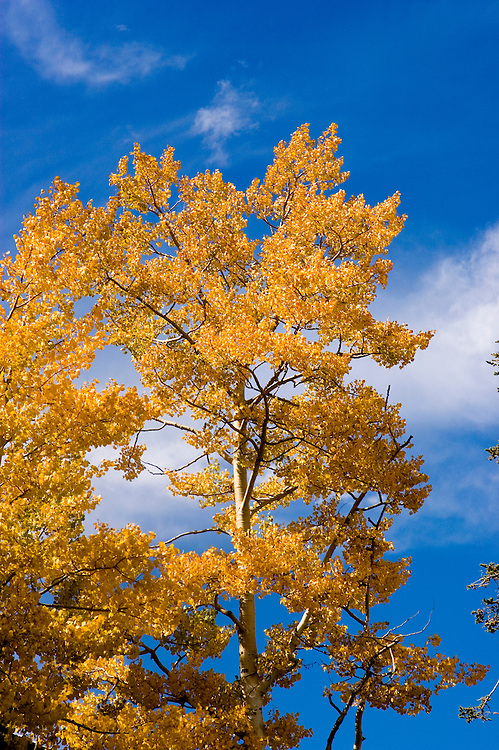 Golden Aspen leaves, aspen trees in fall, white bark, autumn, fall leaves, Utah, UT, Image ut317-18888, Photo copyright: Lee Foster, www.fostertravel.com, lee@fostertravel.com, 510-549-2202