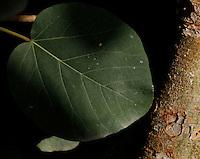 Tropical Rainforest Glasshouse (formerly Le Jardin d'Hiver or Winter Gardens), 1936, René Berger, Jardin des Plantes, Museum National d'Histoire Naturelle, Paris, France. Detail of Myriocarpa leaf.