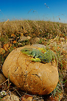 Ocellated Lizard (Timon lepidus) is one of the most huge and beautiful lizards of Europe.