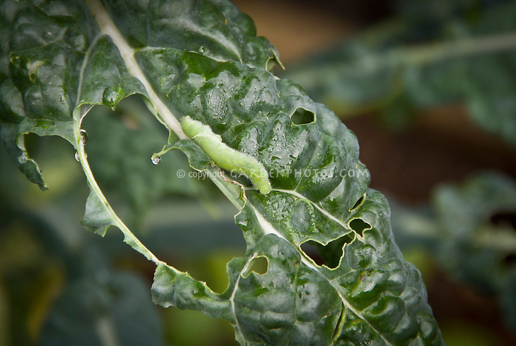 Cabbage Looper, Trichoplusia ni,  caterpillar insect garden pest problem is a member of the moth family Noctuidae, Order: Lepidoptera, worm like crawling destructive creature, on kale Brassica vegetable plant leaves, chewing holes and destroying crop