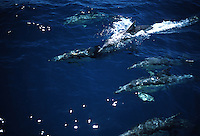 These common dolphin, Delphinus delphis, were in a group of hundreds that stretched to the horizon.  Australia.