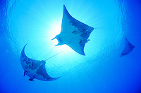 Mobula tarapacana, Kleiner Teufelsrochen,  Schule von Mobulas , Manta,  Devil ray, Devil fish, big school of Manta rays with scuba diver, Azoren, Portugal, Atlantik, Atlantischer Ozean, Azores, Portugal, Atlantic Ocean