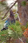 Bart the Steller's Jay Mountain Jay Pine Jay Devil's Postpile High Sierras California