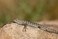 425900019 a wild male great basin fence lizard sceloporus occidentalis longipes perches on a rock along chalk cliffs road bishop california united states
