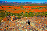 Namaqualand wildflowers at Skilpad  Namaqua National Park, South Africa  One of the world's largest wildflower blooms  Dimropotheca sp.