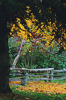 Autumn trees, yellow and red leaves, split-rail fence, in Stanley Park, Vancouver, BC.
