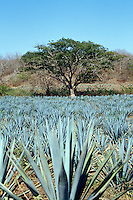 Field of blue agave cacti used in the making of Tequila, Sinaloa, Mexico