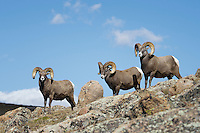 Bighorn Sheep Rams on Trail Ridge Road in Rocky Mountain National Park.