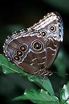 Morpho peleides Butterfly, underside of wings, Belize, showing eye spots.Belize....