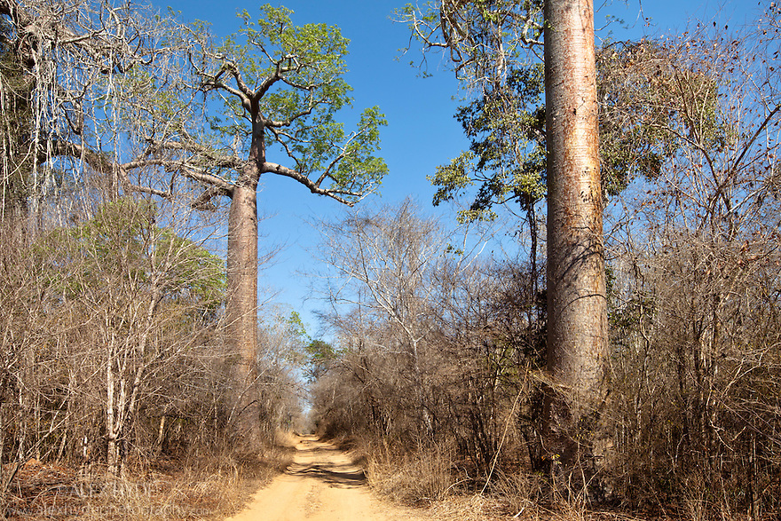 Dry Deciduous Forest, Kirindy Forest, Western Madagascar. October.