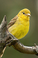 581000005 a wild female western tanager piranga ludiviciana perches on a dead tree limb in a small forest in central washington united states