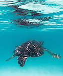 Galapagos Islands, Ecuador , Green sea turtle (Chelonia mydas)