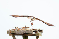 Osprey bring fish back to the nest in Duck, NC.