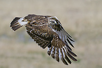 Rough-legged Hawks