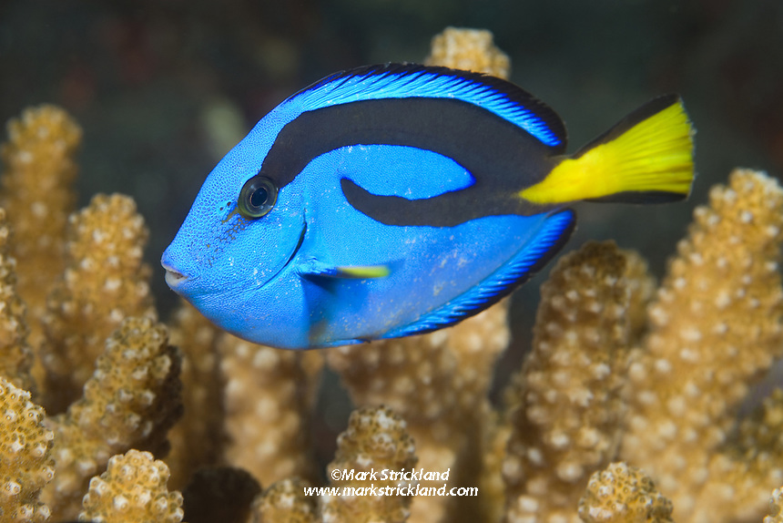 The distinctively colored Palette Surgeonfish, a.k.a. &quot;Dory&quot;<br /> , Paracanthurus hepatus, often hides among coral branches if threatened. Barren Island, Andaman Islands, Andaman Sea, India