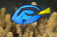 The distinctively colored Palette Surgeonfish, Paracanthurus hepatus, often hides among coral branches if threatened. Barren Island, Andaman Islands, Andaman Sea, India