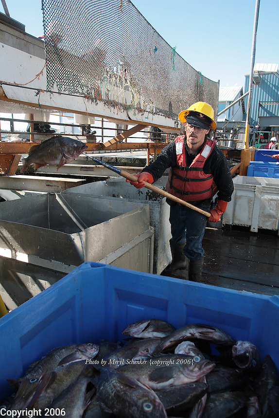"Alvie Bisher unloads and sorts fish on the dock at Ocean Gold Seafood, Inc., in Westport, Washington in August, 2006. To protect himself, he wears a protective ""bump cap"" , waterproof gloves, a life preserver and rubber boots."