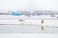 Two polar bears on a barrier island in the Beaufort sea, with the native Alaska inupiat village of Kaktovik in the distance.