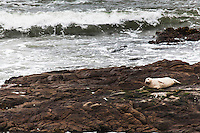 A harbor seal has hauled out and rests on the rocks at Bean Hollow State Beach on the California Coast.