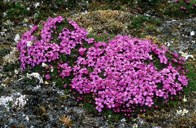 Moss Campion on summer tundra. Spitsbergen. Norway.