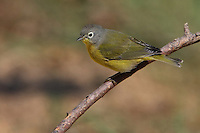 A small, sprightly songbird of second-growth forests, the Nashville Warbler breeds in both north-central North America and an isolated portion of the mountainous Pacific Northwest. It nests on the ground and feeds almost exclusively on insects.