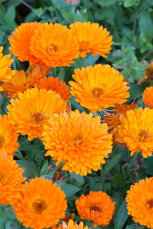 Calendula Candyman Orange, pot marigold herb edible flowers, brightly colored