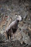 Bighorn Sheep ewe in the rocky cliffs above Rock Creek in Montana