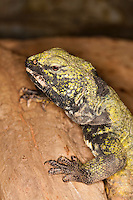 Spiny-tailed Lizard (Uromastyx acanthinurus), Captivity.